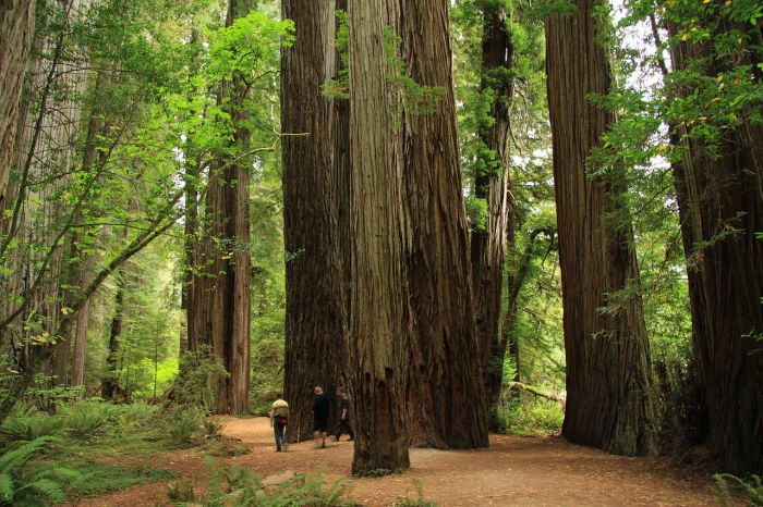 1280px-Stout_Memorial_Grove_in_Jedediah_Smith_Redwoods_State_Park_in_2011_(22)