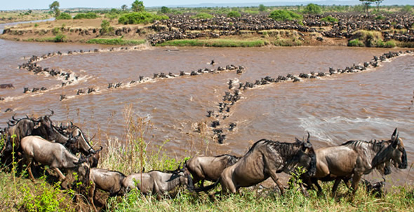 wildebeest-crossing-mara51
