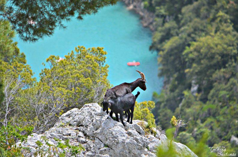 Goats-at-the-Verdon-Gorges-793x525